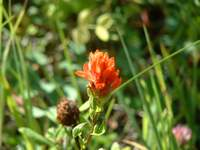 Indian Paintbrush along the trail